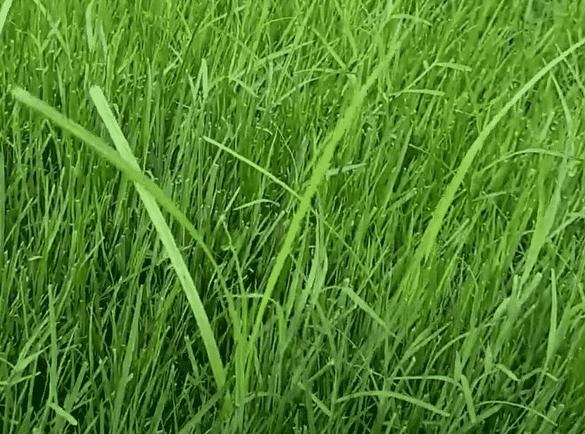Example of Nutsedge weed